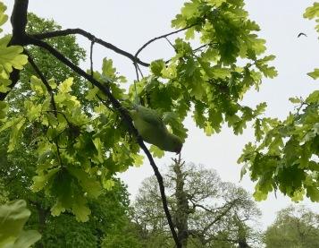 Vihreä papukaija Kensington Gardenissa.